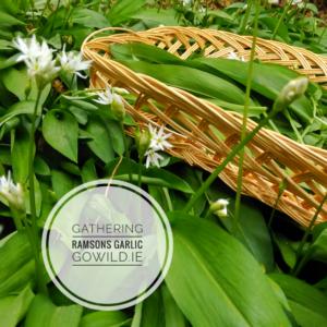 Gathering garlic