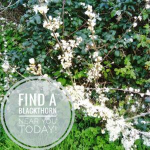 Blackthorn in April